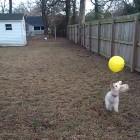 Playful Dog and His Balloon