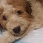 Good Samaritan Helps Hit-and-Run Puppy Left for Dead