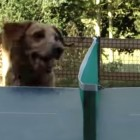 Dog Loves to Watch Ping Pong