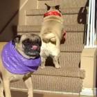 Senior Pugs Go on Valentine's Day Date