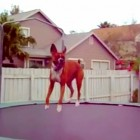Boxers Are the Funniest Kinds of Dogs  (Video)