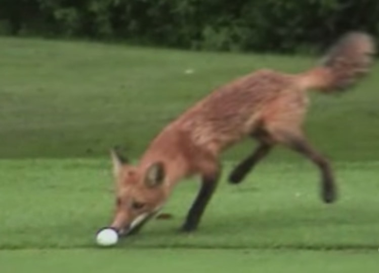 Young Fox Steals Golfer's Ball for Play Time