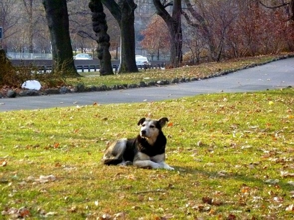 2.19.15 - Woman Sleeps in NYC Park to Save Senior Feral Dog8