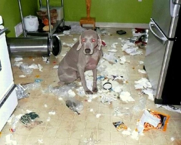 2.20.15 - Dogs Who Are Proud They Trashed Your House16