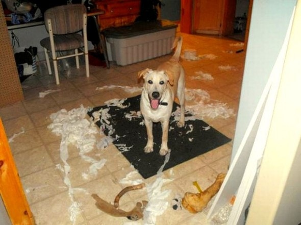 2.20.15 - Dogs Who Are Proud They Trashed Your House21