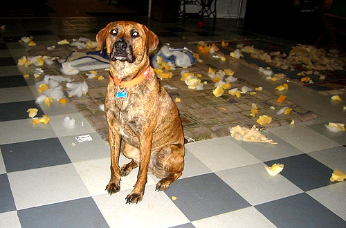 2.20.15 - Dogs Who Are Proud They Trashed Your House5