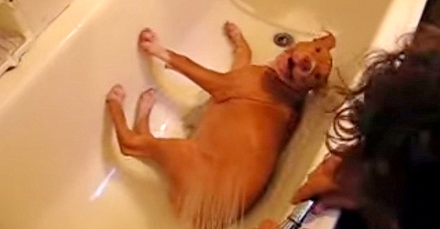 Pit Bulls Are the Funniest Kinds of Dogs! (Video)