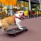 English Bulldogs Win Funniest Dog Contest