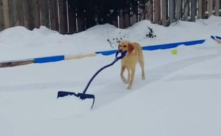 Canadian Dog Picks up Second job as Zamboni