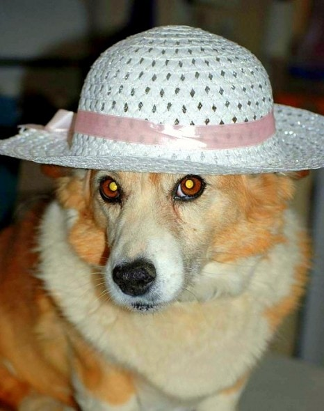 2.26.15 - Dogs Who Are NOT Happy About Their Hats0