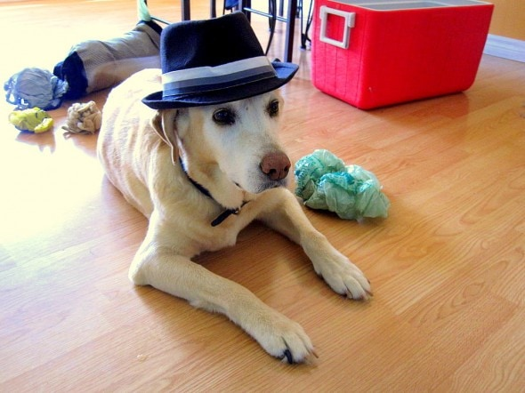 Dogs Who Are Not Amused With Their New Hats Life With Dogs