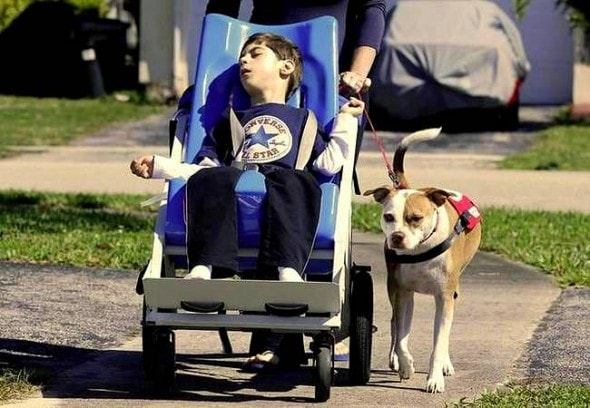 2.26.15 - Service Pit Bull Wins the Right to Attend Boy's School3