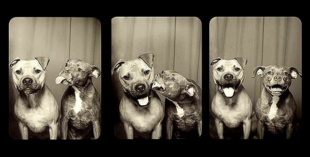 This Is What Happens When You Put Rescue Pit Bulls in a Photo Booth
