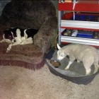 Orphaned Lamb Raised by Collies now Thinks it's a Dog