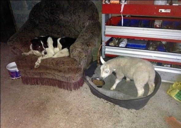 2.9.15 - Orphaned Lamb Raised by Collies now Thinks it's a Dog