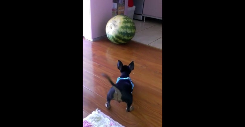 Tiny Dog vs. Watermelon