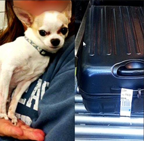 Chihuahua Almost Travels Inside Checked Bag