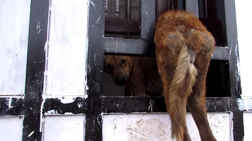 Animal Rescuers Help Dog Stuck in Iron Gate