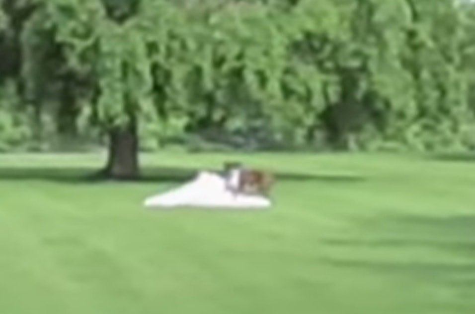 Dog + Wedding Dress = DISASTER!