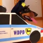 Adorable Dachshunds Play Cops & Robbers