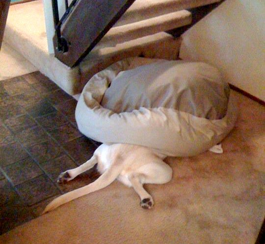3.19.15 - Dogs Who Totally Forgot How to Bed19
