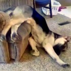 Lazy Dog Has Interesting Way of Moving Off Chair