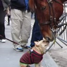 French Bulldog Befriends NYC Police Horse