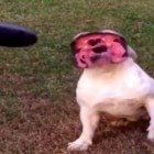 This Bulldog LOVES the Leaf Blower