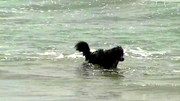 3.28.15 - Bernese Mountain Dog Saves Two People from Riptide2