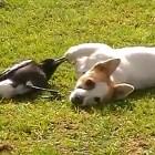 Dog & Australian Magpie Are Best Buddies