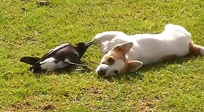 Dog & Australian Magpie Are Best Buddies
