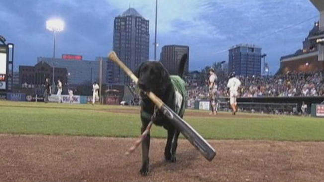 "Famous ""Ball-Dog"" Retiring After this Baseball Season"