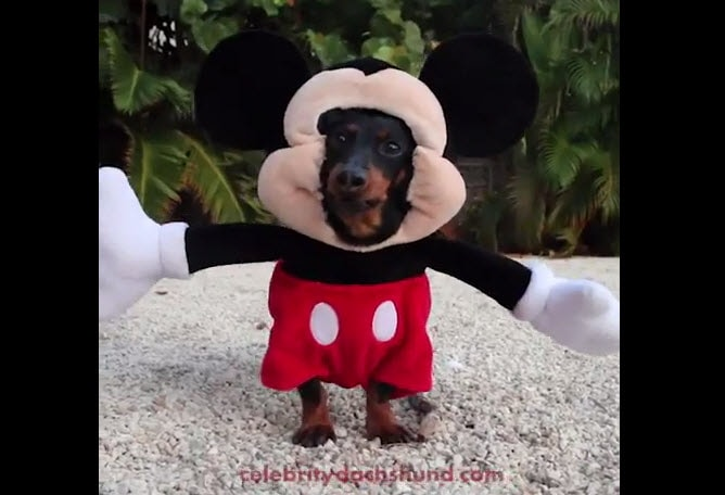 Cute Dog Can Take Mickey Mouse's Job