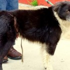 Dog with Extremely Tight Tether Around Waist Rescued