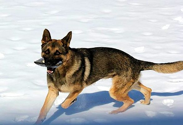 4.12.15 - Disabled German Shepherds Need a Home10