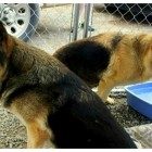 Disabled Bonded German Shepherd Ladies Rescued & Need a Home