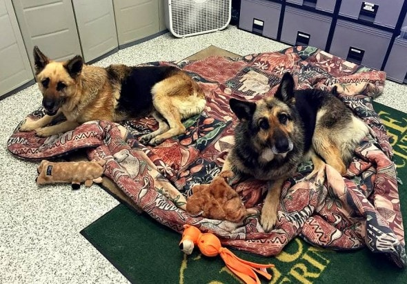 4.12.15 - Disabled German Shepherds Need a Home3