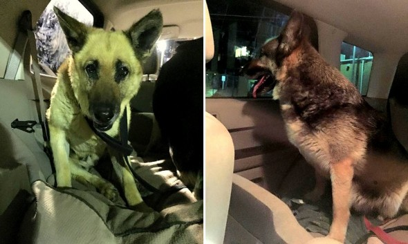 4.12.15 - Disabled German Shepherds Need a Home4