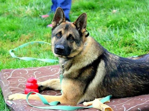 4.12.15 - Disabled German Shepherds Need a Home8