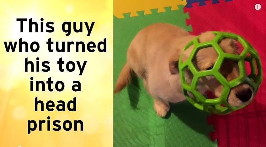 16 Golden Retriever Puppies Being Total Dweebs
