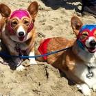 Over 600 Corgis Storm SoCal's Corgi Beach Day