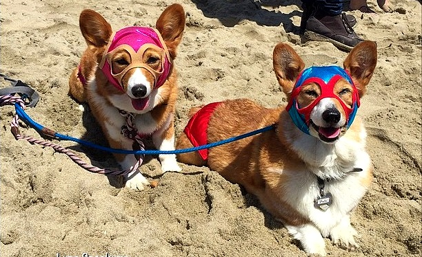 Over 600 Corgis Storm SoCal's Corgi Beach Day