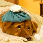 Tips on the Deadly Canine Flu Sweeping the Midwest