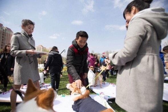 VID: Barking Mad Wedding For Dogs In China