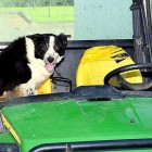 Border Collie Steals a Tractor & Hits the Highway