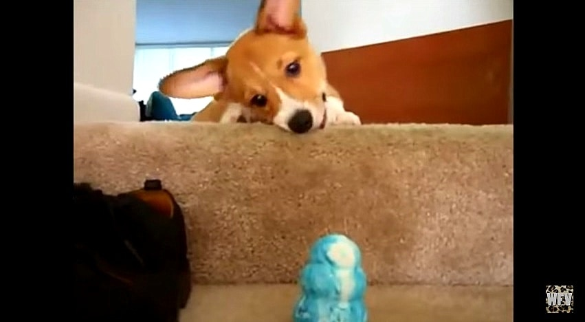 10 of the Funniest Corgis Ever