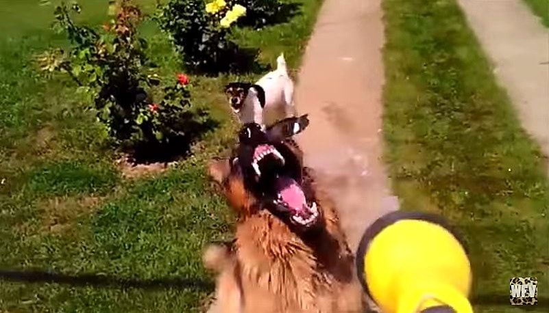 German Shepherds Being Big Goofballs