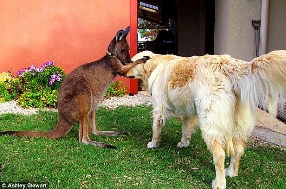 4.23.15 - The Kangaroo Who Thinks He's a Dog2