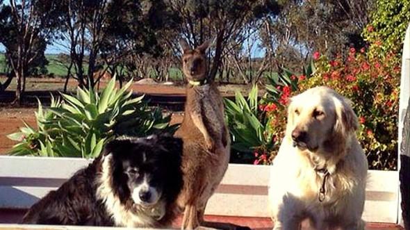4.23.15 - The Kangaroo Who Thinks He's a Dog4