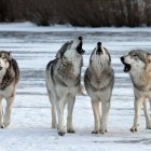 Study Says Wolves Have Better Disposition Than Dogs